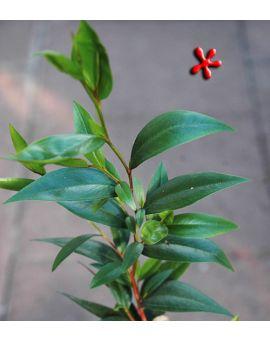 Agonis flexuosa Peppermint Tree