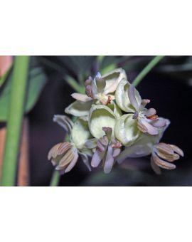 Akebia quinata 'alba' 'White Chocolate Vine'