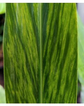 Alpinia zerumbet 'Yu Hwa Ginger'