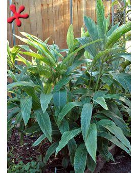 Alpinia formosana 'Pinstripe Ginger'