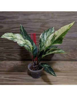 Anthurium 'Camo' Variegated Bird's Nest Anthurium