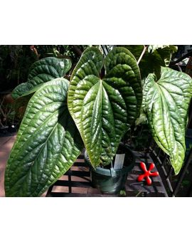 Anthurium luxurians x dressleri