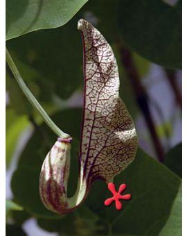 Aristolochia elegans x labiata