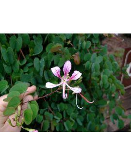 Bauhinia yunnanensis 'Orchid Vine'