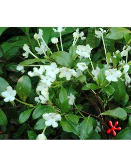 Brunfelsia americana 'Lady of the Night'