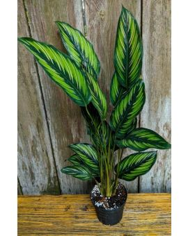 Goeppertia Calathea 'Beauty Star'