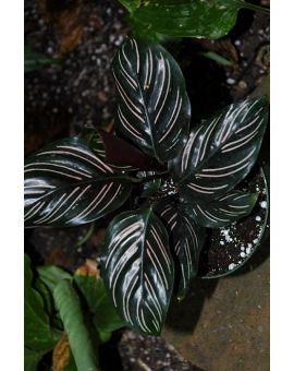 "Calathea ornata ""Pin-Stripe Calathea"""