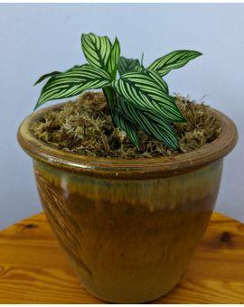Goeppertia Calathea 'Vittata'
