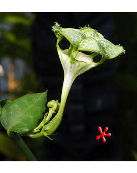 Ceropegia sandersonii 'Parachute Flower'