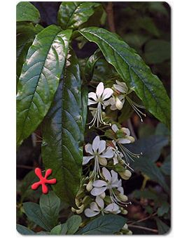 Clerodendrum wallichii 'Bridal Veil'