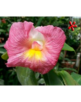 Costus fissiligulatus 'African Princess'