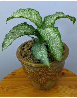 Dieffenbachia maculata 'Tropical Tiki'