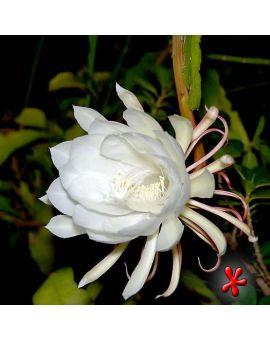 Epiphyllum oxypetalum 'Night-blooming Cereus'