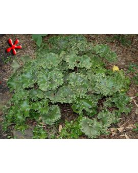 Farfugium japonicum 'Crispata' 'Crested Ligularia'