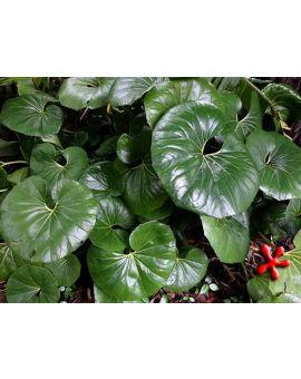 Farfugium japonicum 'Gigantea' 'Giant Ligularia'
