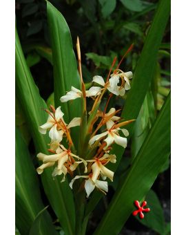 Hedychium 'Clown Suit'