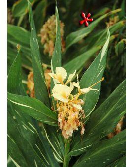 Hedychium 'Tahitian Flame'