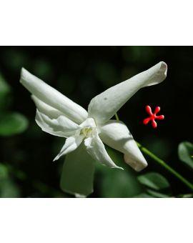 Jasminum grandiflorum 'Flora Plena' 'French Perfume Jasmine'