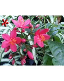 Jatropha integerrima 'Watermelon Pink'