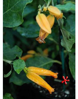 Juanulloa aurantiaca 'Gold Finger Plant'