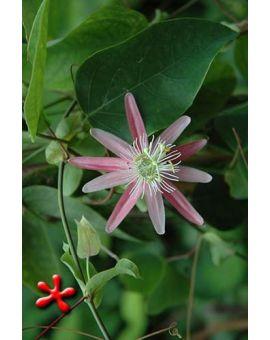 Passiflora 'Kew Gardens'