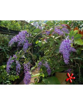 Petrea racemosa 'Purple Wreath'