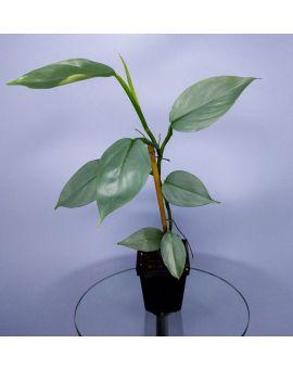 Philodendron hastatum (glaucophyllum)