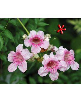 Podranea ricasoliana 'Pink trumpet Vine'