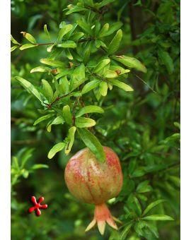Punica granatum 'Dwarf Pomegranate'