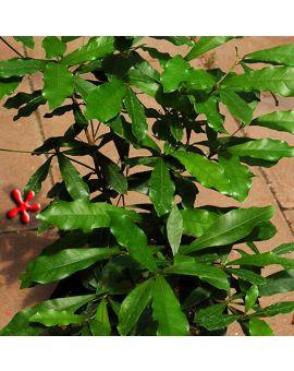 Synsepalum dulcificum 'Miracle Fruit'
