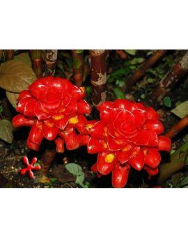 Tapeinochilos ananassae