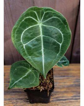 Anthurium forgetii