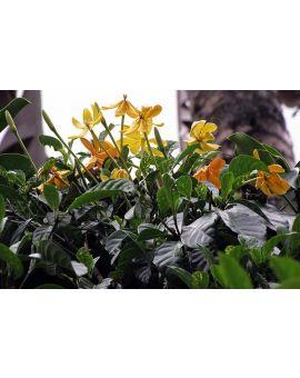 Gardenia tubifera 'Golden Gardenia' Flower