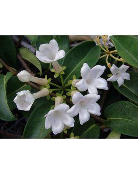 Stephanotis floribunda 'Madagascar Jasmine'