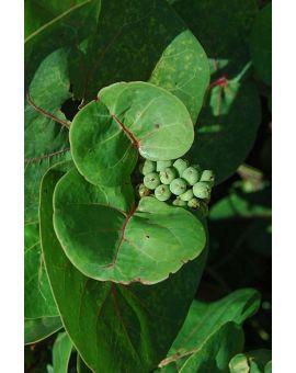 Coccoloba uvifera 'Sea Grape'