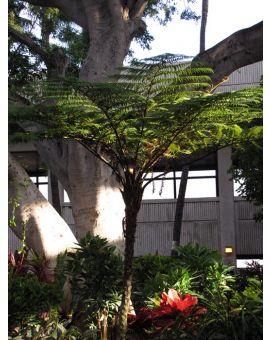 Cyathea cooperi 'Australian Tree Fern'