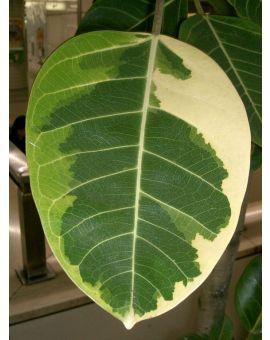 Ficus altissima variegata Asian Council Tree