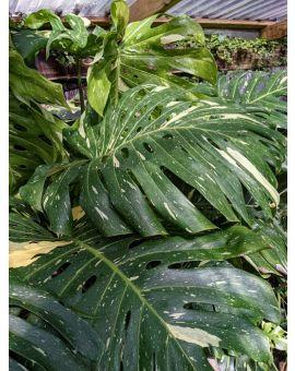 Monstera deliciosa variegata 'Thai Constellation'<br></picture><em>mature foliage</em>