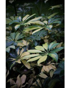 Schefflera arboricola 'Trinette'