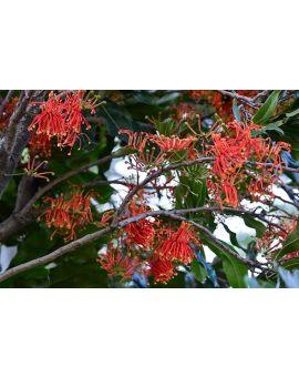 Stenocarpus sinuatus 'Firewheel Tree'
