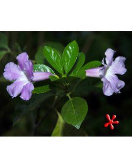 Clytostoma callistegioides 'Violet Trumpet Vine'