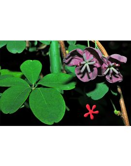 Flower of Akebia quinata 'Chocolate Vine'