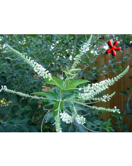 Aloysia virgata 'Sweet Almond Bush'