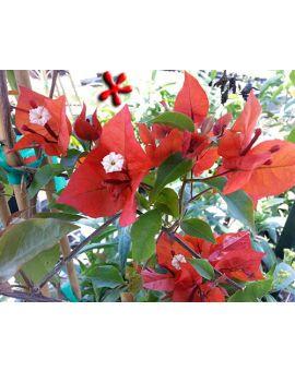 Bougainvillea 'Flame'