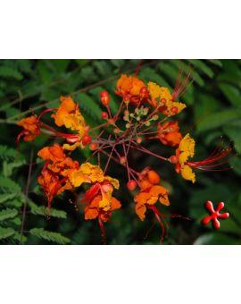 Caesalpinia pulcherrima 'Pride of Barbados'