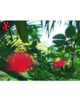 Calliandra emarginata 'Red Powderpuff'
