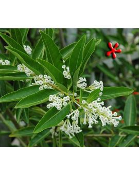 Cestrum diurnum 'Day Blooming Jasmine'