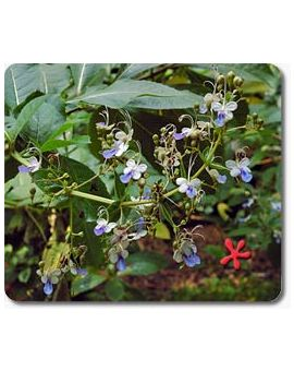 Clerodendrum ugandense 'Butterfly Bush'