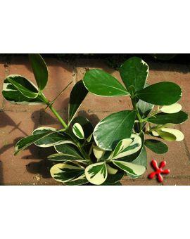 Clusia rosea 'Variegata' Variegated Autograph Tree