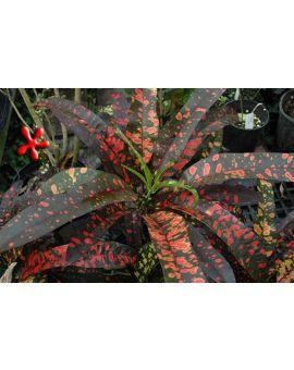 Croton - Codiaeum 'Franklin Roosevelt'